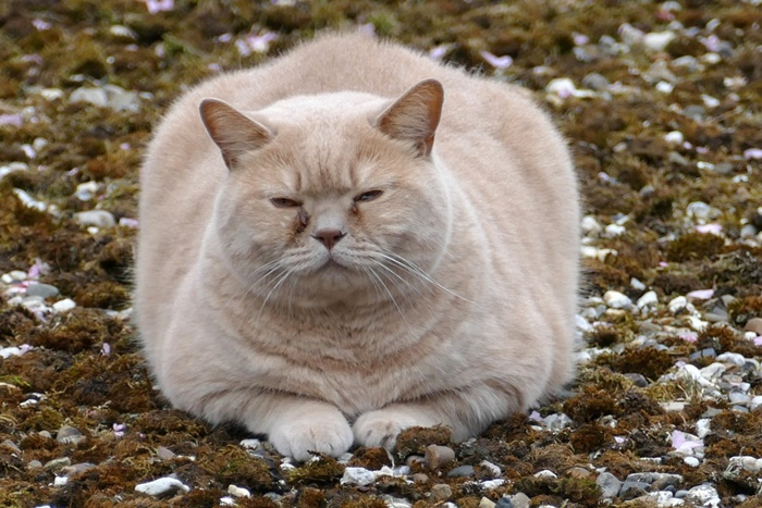肥満猫のダイエット・減量におすすめの低カロリーキャットフードランキング