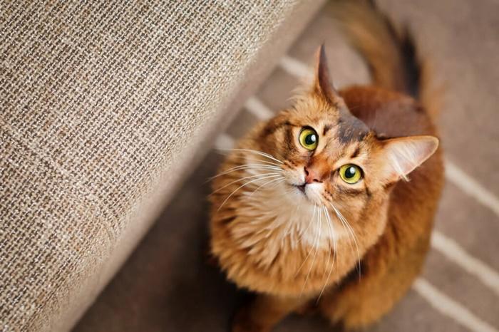 ソマリの人気カラーはブルー!猫なのに犬のように人懐っこい性格
