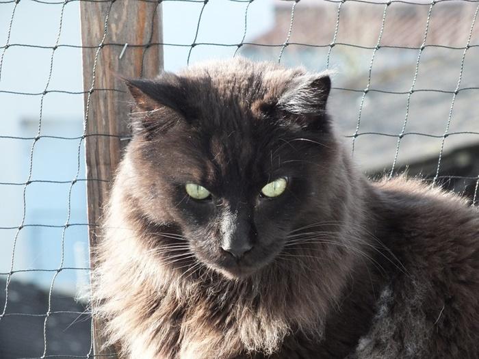 黒いメインクーンの子猫の値段について|希少価値の高い理由とは?