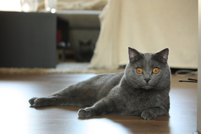 シャルトリューってどんな猫?子猫の値段・販売価格や毛色・寿命について