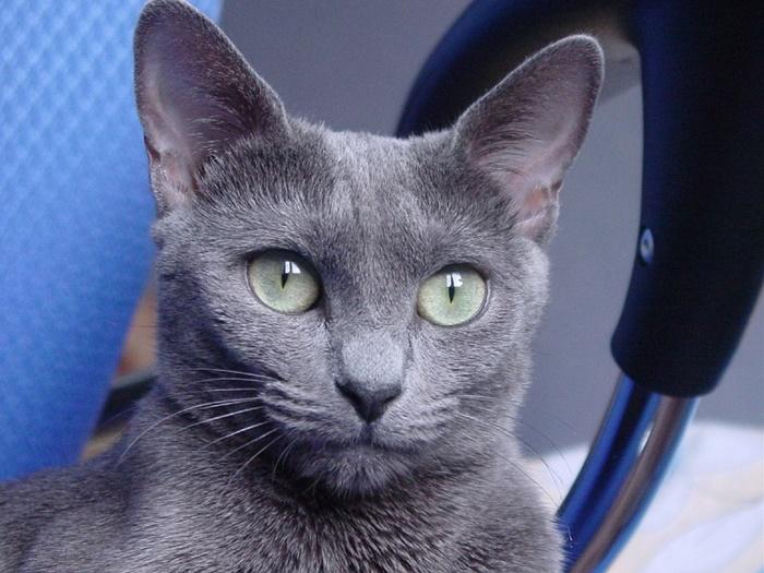 ロシアンブルーのブルーポイントって?性格は犬のように忠実で飼いやすい猫!