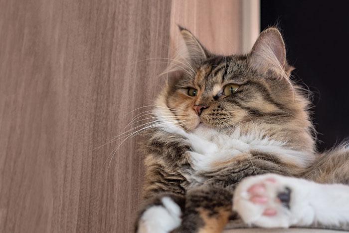 ラガマフィンの子猫の値段は?成猫時の大きさや性格・毛色の種類・寿命について