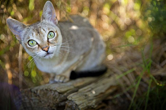 抜け毛が少ない小型猫シンガプーラってどんな猫?値段・寿命・性格について