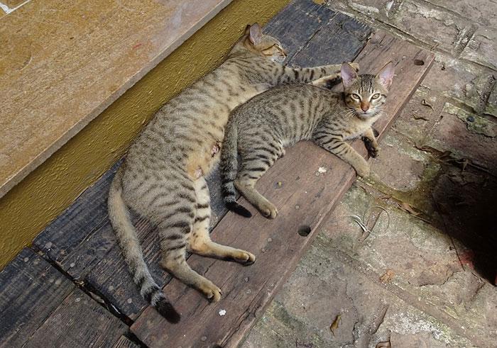 ベンガル猫の値段・価格相場ってどれくらい?見た目に反して性格はおとなしく温厚
