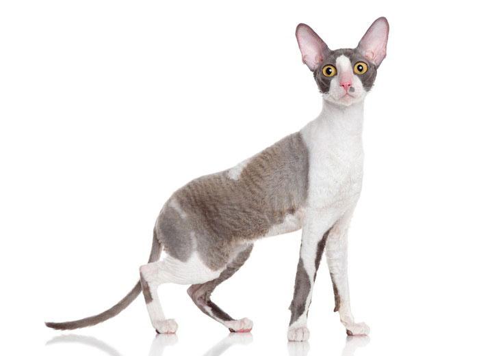 コーニッシュレックスは破壊神ビルスのモデル猫!子猫の値段・販売価格や毛色・寿命について