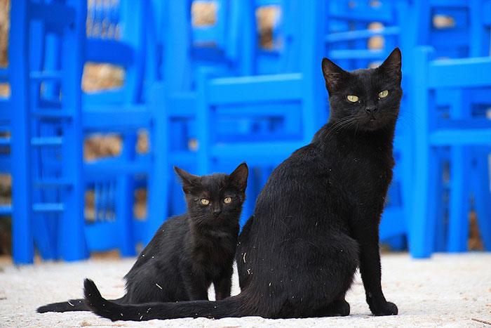 実は人気の黒猫はどこで買える?ボンベイ以外の黒猫がいる品種一覧と性格・価格について