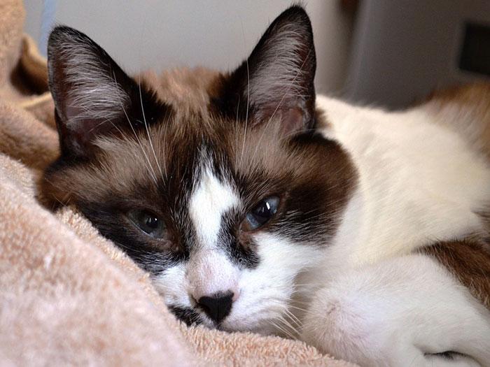 シャムミックス(雑種猫)の毛色はどんなものがある?シャム猫の性格や価格相場について