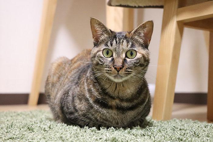 日本猫にはどんな種類がいる?しっぽが短い理由と性格・入手方法・寿命について