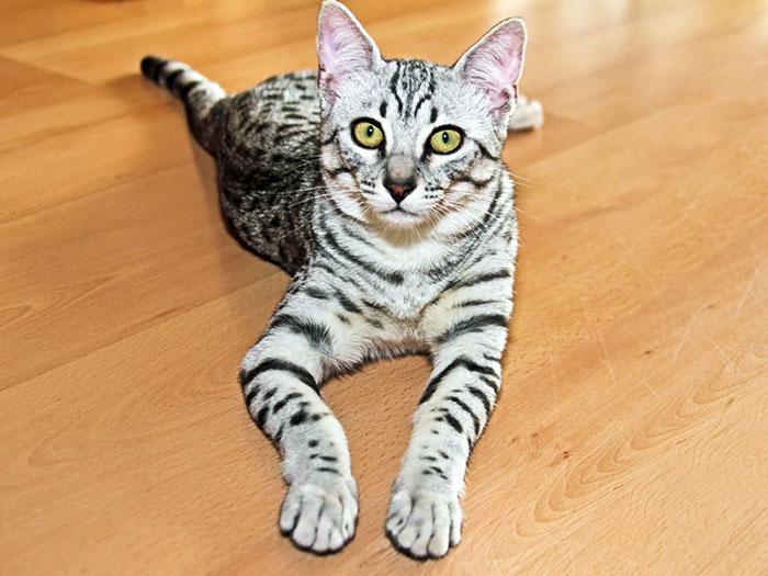 エジプシャンマウはブリーダーで購入!子猫の値段・販売価格や毛色・寿命について