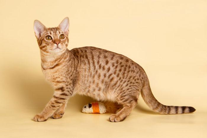 オシキャットってどんな猫?子猫の値段・販売価格や毛色・寿命について