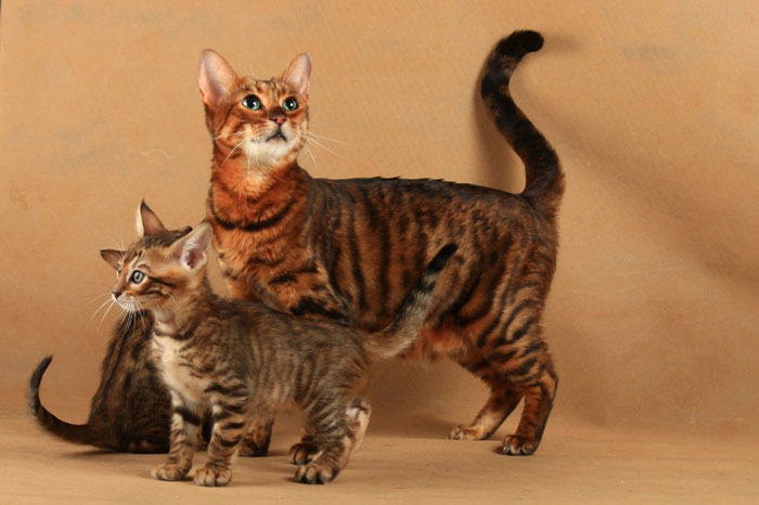トイガーってどんな猫?子猫の値段・販売価格や毛色・性格・寿命について