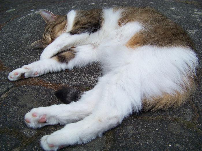 キャットニップ(イヌハッカ)の効果と猫への使い方!マタタビとの違いも解説