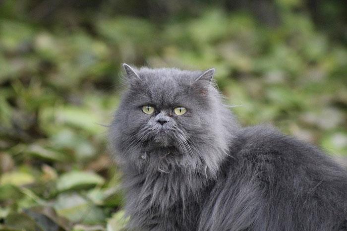 白いペルシャ猫の性格と寿命とは?チンチラとの違いも解説【シルバー】