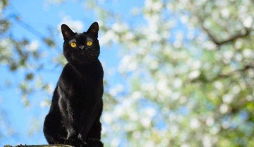 短毛種の黒猫ボンベイはペットショップで売ってる?子猫の販売価格や特徴について