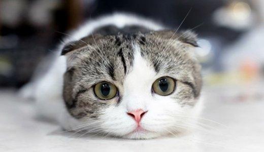 スコティッシュフォールドが大人になったら耳はどうなる?成猫時の大きさや垂れ耳について