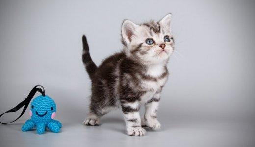 アメリカンショートヘアの子猫の値段は?アメショーの特徴と販売価格について