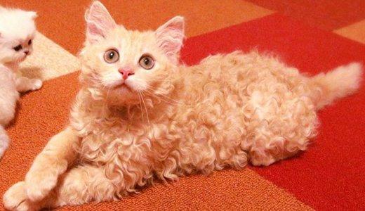 ラパーマってどんな猫?子猫の値段・販売価格や毛色・性格・寿命について