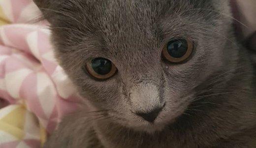 キンカローってどんな猫?子猫の値段・販売価格や毛色・性格・寿命について