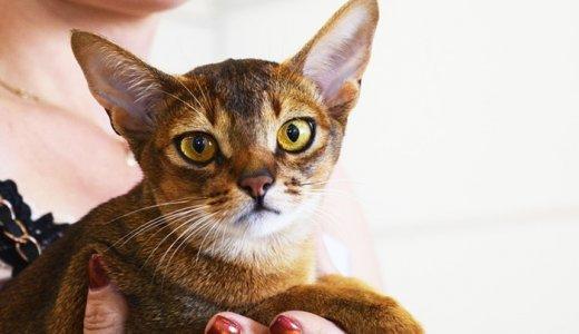 アビシニアンは凶暴ではない!人懐っこくて賢い飼いやすい猫