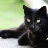 【実は人気】黒猫はどこで買える?ボンベイ以外の黒猫がいる品種一覧