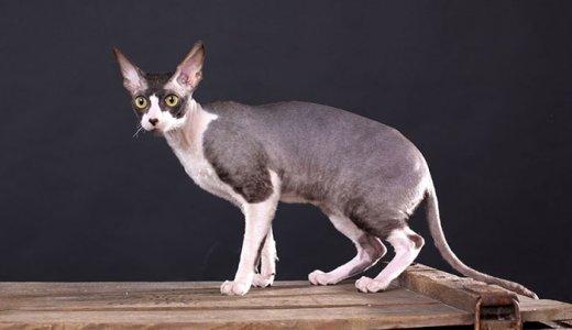 破壊神ビルスのモデルはコーニッシュレックス!子猫の値段・販売価格や毛色・寿命について