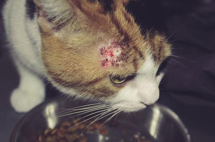 猫の湿疹はアトピー性皮膚炎の可能性!皮膚病の症状・原因・対策まとめ