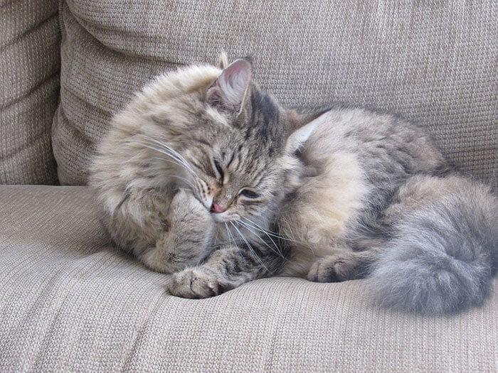 猫の抜け毛におすすめのキャットフードランキング!抜け毛の原因と対策を徹底解説