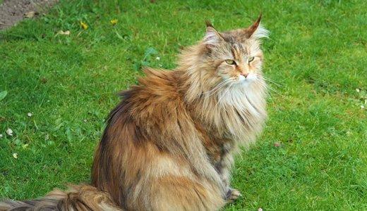 黒いほど希少なサイベリアンってどんな猫?販売価格や性格について