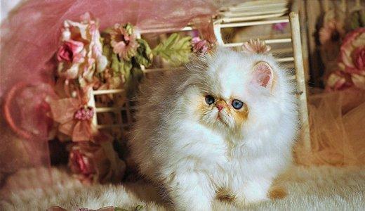 希少種ミヌエット(ナポレオン)ってどんな猫?子猫の値段・販売価格について