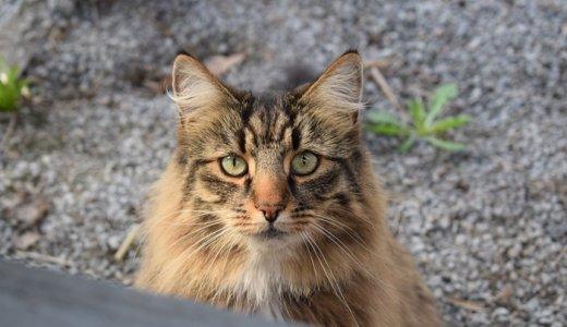 ノルウェージャンフォレストキャットってどんな猫?メインクーンとのミックスも人気!