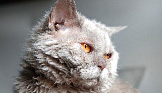 セルカークレックスってどんな猫?ブリーダーでの子猫の値段・販売価格・抜け毛の手入れについて