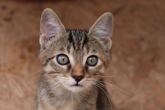 猫の目やに・涙やけの原因は?おすすめのサプリメントと治し方・改善方法