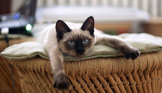 シャム猫のキャットフード人気ランキング!評判が良いおすすめの餌の選び方