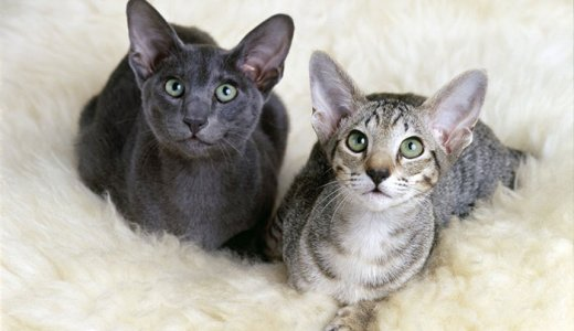 オリエンタルショートヘアの人気の毛色は黒!子猫の値段・販売価格について
