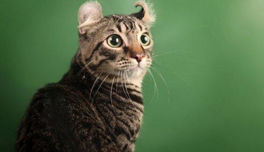 アメリカンカールの耳の掃除のやり方はどうやるの?子猫の値段・毛色について