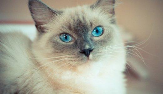 ラグドールはぬいぐるみみたいで超かわいい!性格や大きさ・子猫の販売について