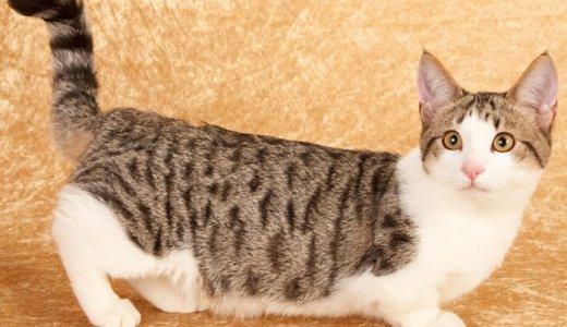 マンチカンは成猫になるとかわいくない?大人になったときの大きさや足の長さについて