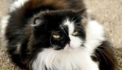ペルシャ猫のキャットフード人気ランキング!評判が良いおすすめの餌の選び方